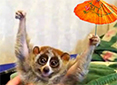 Full size picture of a slow loris holding an umbrella